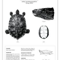 False map turtle (holotype drawing). Um projeto de Design e Ilustração de Joana Araújo Bruno         - 07.08.2012